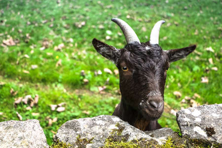 Detailed portrait of a funny black goat with two beautiful horn, posing for the camera behind a stone wall and with grass in the background