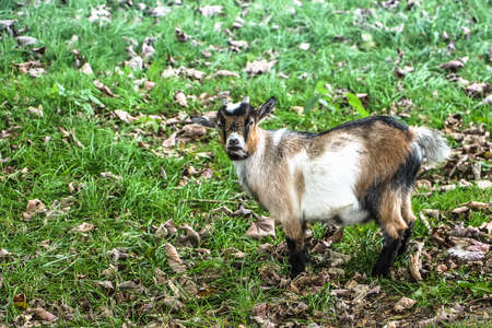A small funny goat looking at the camera while standing up in the grass 版權商用圖片