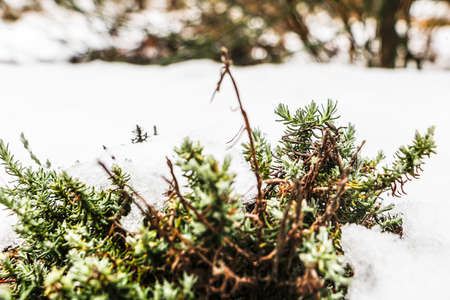 Some snowflakes over a little bush with a snow covered floor in winter 写真素材