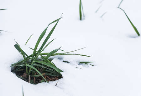 Winter scene Closeup of a grass sprout peaking through the snow 写真素材