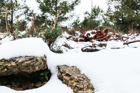 Close up of a rock and a sprout peaking out through the snow, in a forest in winter