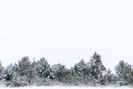 A Stand Of Pine Trees Amidst Snow in a snowy day with overcast sky in winter