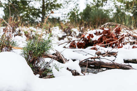 Close up of a rock and a sprout peaking out through the snow, in a winter forest
