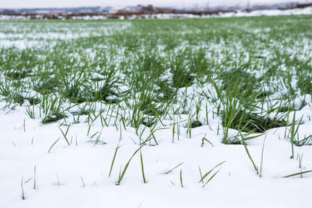 Sprouts of green grass peaking through the snow in a snowy field on winter
