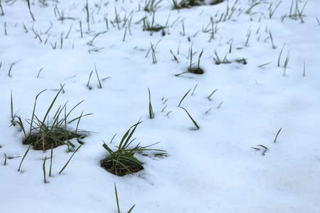 Winter Scene of grass sprouts peaking through the snow