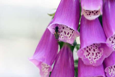 investigates: Bee investigates blooming Foxglove in Wawona, California.