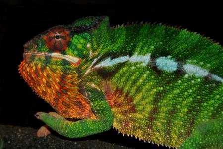 Mafana Panther Chameleon, Fucifer pardalis - Species are indigenous to Madagascar