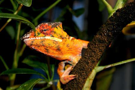 Ambilobe Panther Chameleon (Furcifer pardalis) peeking around a branch