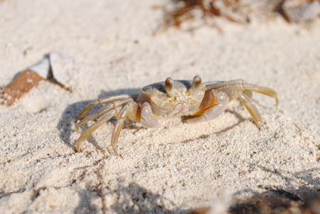 critter: Crab