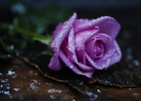 A lavender rose wet from snowflakes Stock Photo