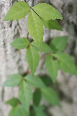 Poison Ivy vine growing up a tree Imagens