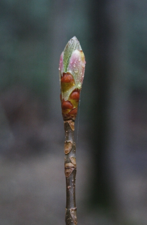 Early spring bud with rain drops Stock Photo - 19156870