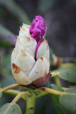 A budding Rhododendron flower in spring Stock Photo - 18153165