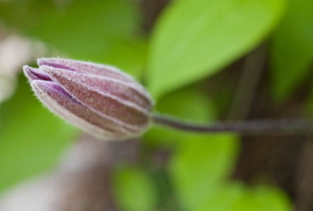 A budding Clematis flower ready to bloom Stock Photo