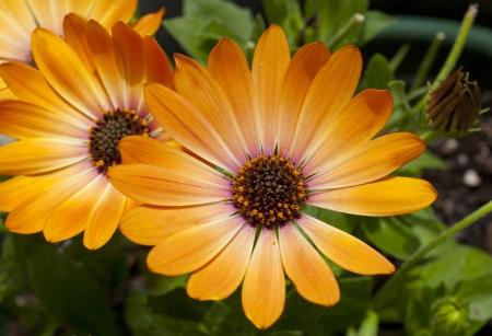 astra: Orange Astra African Daisy flowers Stock Photo