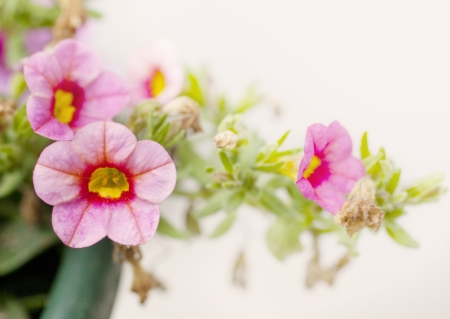 Isolated pink Petunia flowers Stock Photo - 19505991