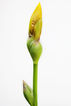 A close up of an isolated yellow Iris bud Stock Photo - 19506904