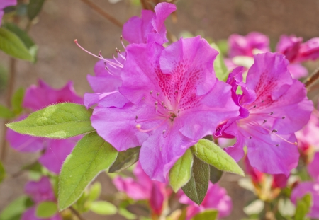 Fuschia Azalea flowers in bloom