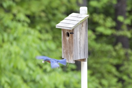 A male Eastern Bluebird in flight  Stock Photo