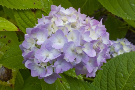 A close up of Hydrangea flowers in bloom