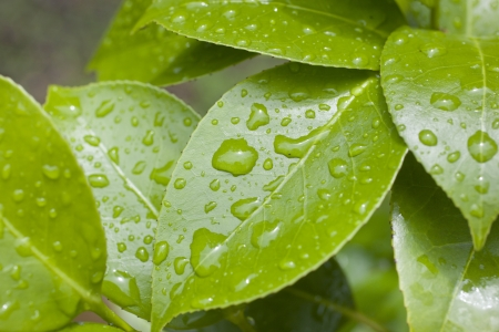 A close up on raindrops on camellia leaves