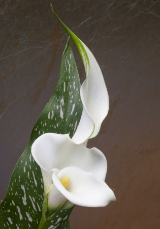 A Calla Lily in Bloom  Stock Photo
