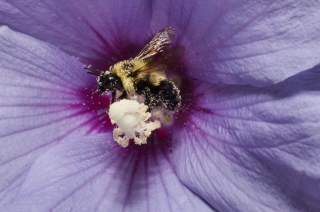 A bee collecting pollen from a Rose of Sharon flower photo