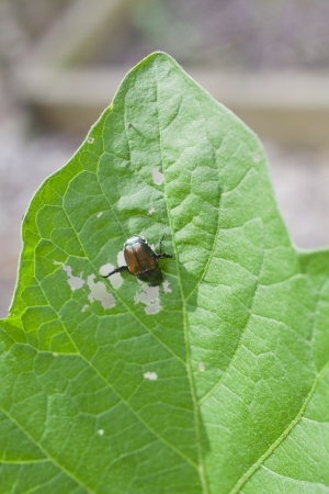 A Japanese beetle eating an eggplant leaf in a garden Stock Photo