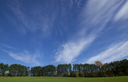 A row of coniferous trees and a blue sky with wispy clouds