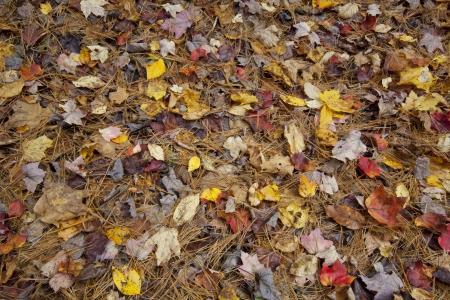 Fallen Autumn foliage on the forest floor in Western Massachusetts  Stock Photo - 23017862