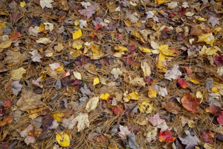 Fallen Autumn foliage on the forest floor in Western Massachusetts Stock Photo - 23017862