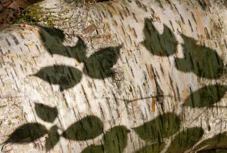 Shadow of leaves on a Birch Tree photo