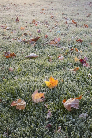 icey: Detail of Autumn Frost Stock Photo