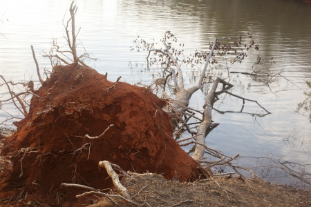 land slide: A fallen tree due to erosion on the shore of Lake Norman in North Carolina