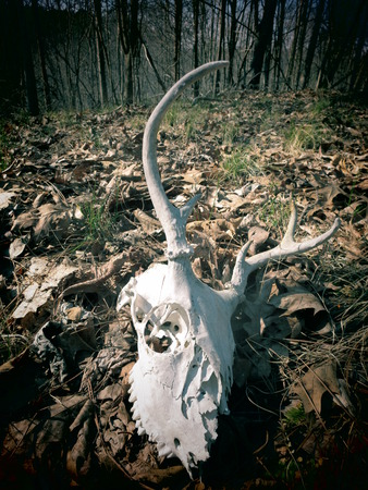 the fittest: A filtered view of a skeleton deer skull on a forest floor