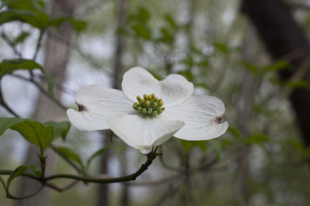 dogwood tree: A Dogwood tree flower blossoming during spring in North Carolina  Stock Photo