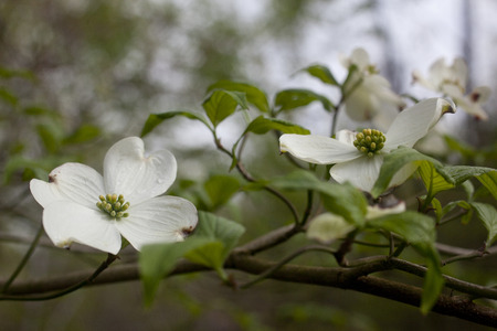 Dogwood tree flowers blossoming during spring in North Carolina