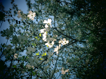 A filtered photo background of dogwood flowers and pine tree branches photo