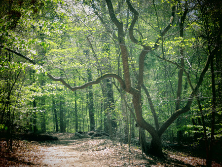 gnarled: A filtered photo of a gnarled Sourwood tree in a forest. Stock Photo