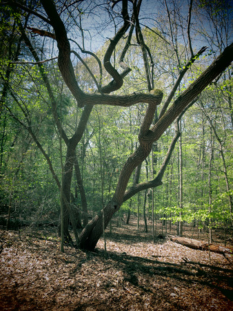 A filtered photo of a gnarled Sourwood tree in a forest. Stock Photo