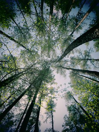filtered: Una foto filtrada del follaje de primavera en los �rboles en un bosque de Carolina del Norte.