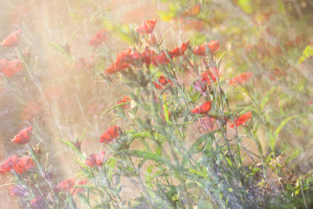 A long exposure photo impression of red Dianthus flowers