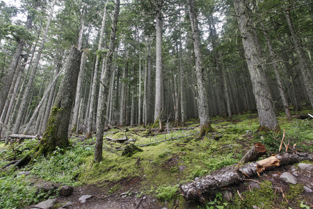 coniferous forest: A coniferous forest in Glacier National Park, Montana  Stock Photo