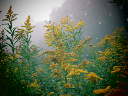 goldenrod: A foggy morning view of goldenrod flowers