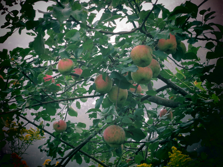 crab apple tree: Wild Crab Apples in morning fog in the Berkshires of Western Massachusetts Stock Photo