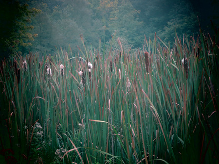 swampy: Cattails in a swampy wetland in the Berkshires of Western Massachusetts