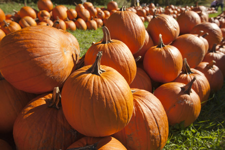 the patch: Pumkins in a pumpkin patch Stock Photo