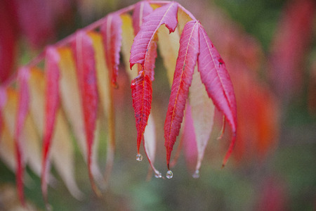 Wet fall foliage on a rainy day in the Berkshire mountains of Western Massachusetts.