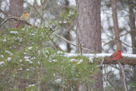 Cardinals perched on a bent pine tree. Stock Photo
