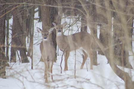 snow covered forest: Deer standing in a snow covered forest